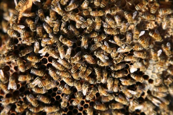 """""""Imkerij de Immenhof Malden met imker en bijen en de koningin met rugnummer 55"""""""