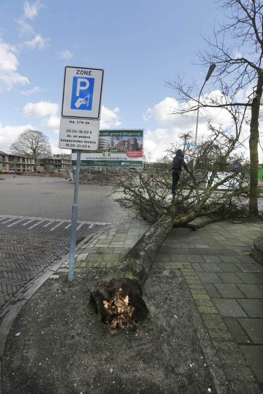 Omgewaaide boom Regentessestraat, Claes Noouduynstraat. Nijmegen, 31-3-2015 . dgfoto.