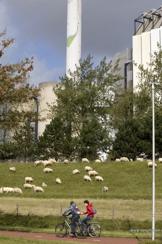 Schapen bij de energiecentrale. Nijmegen, 2-10-2017 .