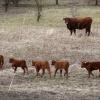 Volgens Free Nature zijn er opvallend veel kalfjes al geboren in de Beuningse uiterwaarden (rode geuzen). Beuningen, 5-3-2015 . dgfoto.