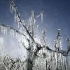 Vruchtbomen in Ooij besproeid om nachtvorstschade te voorkomen
