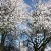 """""""Bloesem in boom voor Bisschop Hamerhuis"""""""