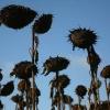 """""""Frankrijk Zonnebloemen bij Saulgond"""""""