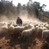 """""""Herder Sjef beheert met zijn kudde de Overasseltse Vennen"""""""